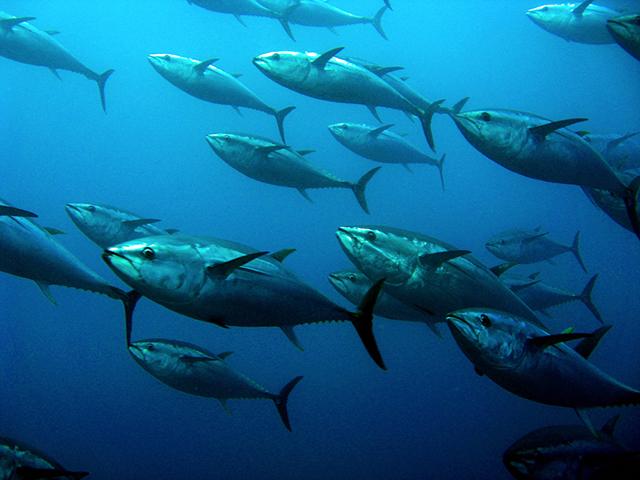 アンセリンはマグロなどの回遊魚から抽出される成分